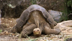 1280px-Lonesome_George_-Pinta_giant_tortoise_-Santa_Cruz-300x171