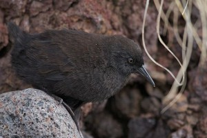640px-Inaccessible_Island_Rail_(Atlantisia_rogersi)